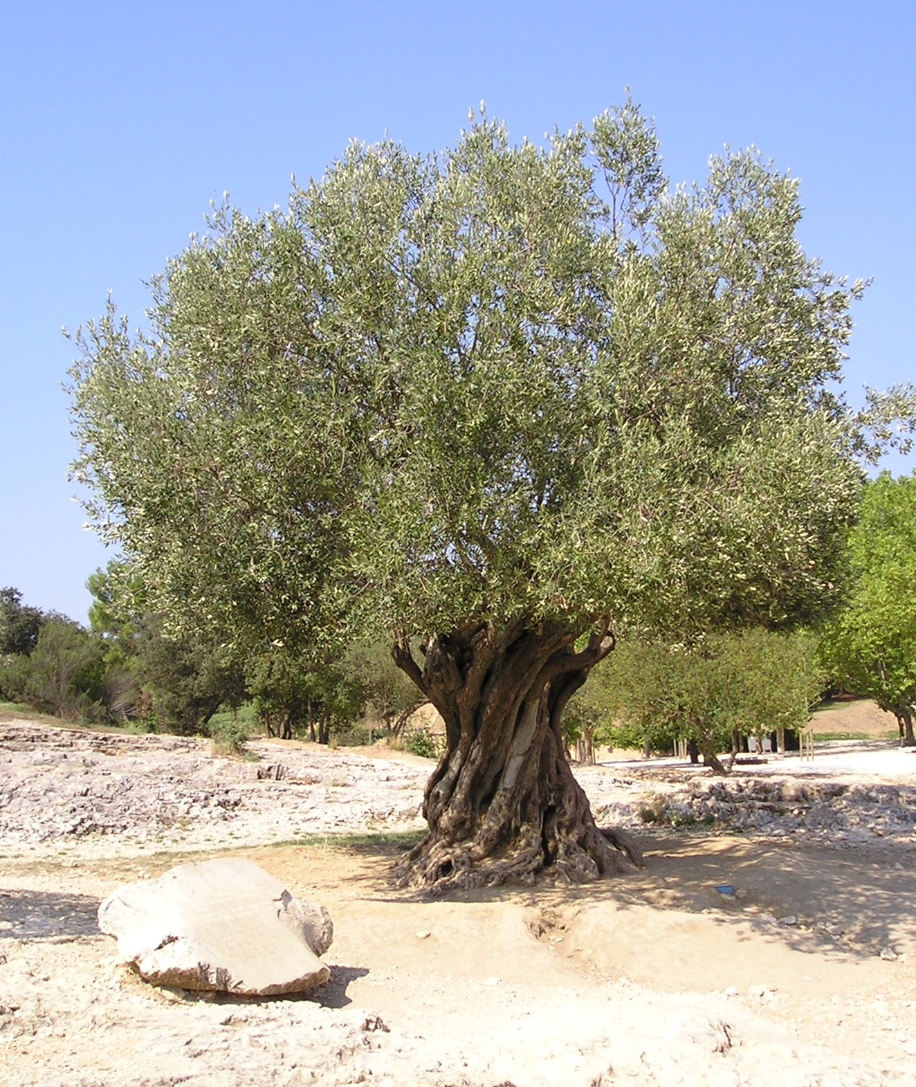 Cost of olive trees 28 images dress womens clothing for Olive trees for sale