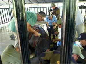 Taronga Zoo Vet Benn Bryant treating Andalas in Sumatra in June.Photo: Courtesy of Michael Smith