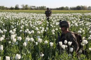 US troops shoulder deep in Poppy field in Afghanistan.