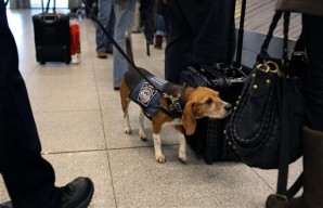 Bomb sniffing dogs used by Department of Homeland Security at Kennedy Airport.