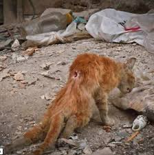 War ravaged cat in Syria.