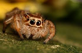 The jumping spider  family (Salticidae) is one of the coolest spiders in the world, in my opinion. When you have attracted their attention, they follow you with their big eyes