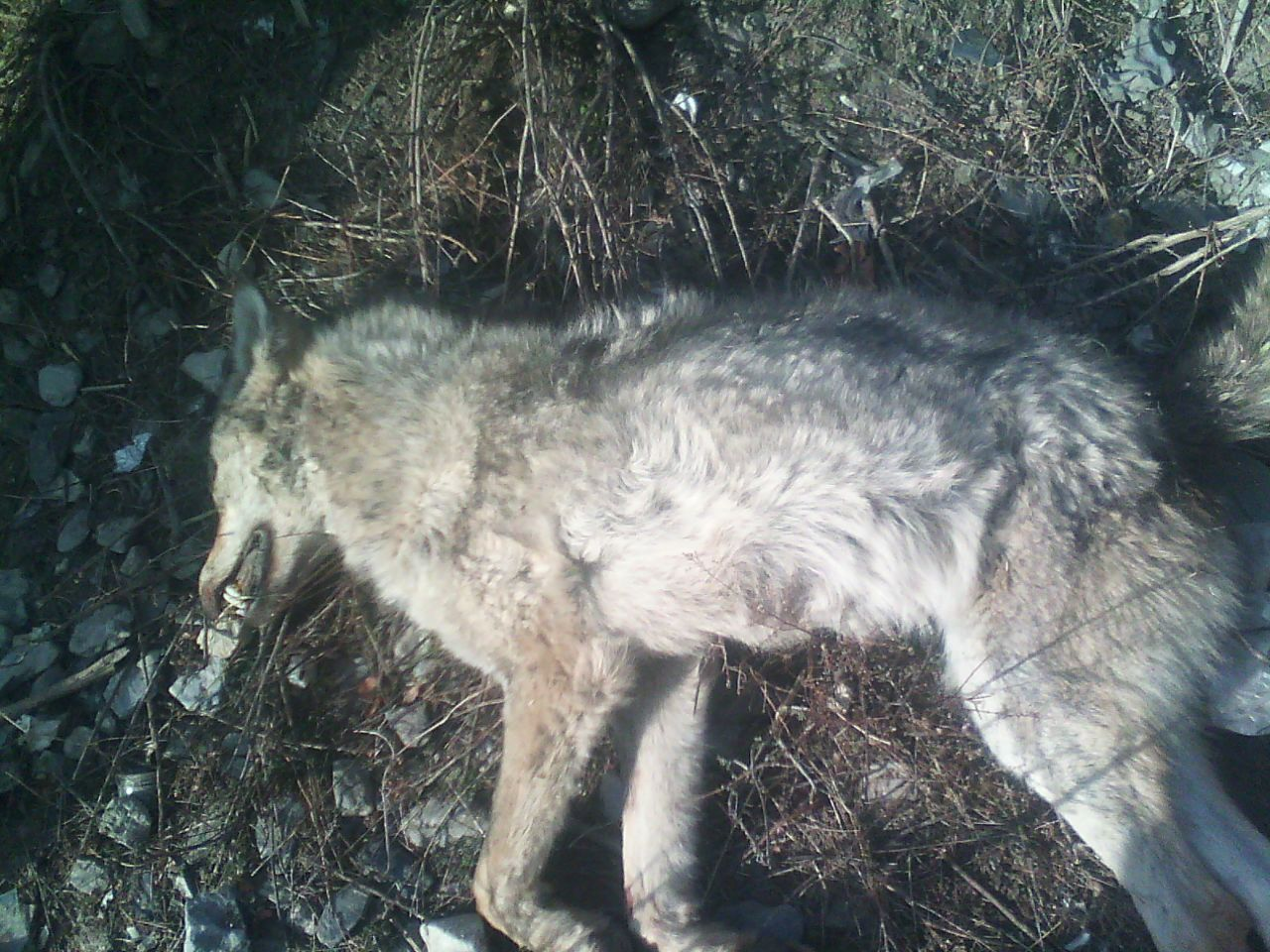 Villagers Killed Grey Wolf In Vicinity Of Chitral Gol