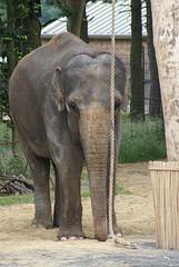 elephant indore champa